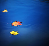 Maple leaves on water. Autumn maple leaves on water Royalty Free Stock Images