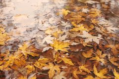 Maple leaves in water Stock Image