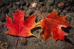 Maple leaves in water Royalty Free Stock Photography