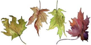 Maple leaf. Leaf plant botanical garden floral foliage. royalty free illustration