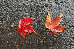 Maple leaves on wet road Royalty Free Stock Photo