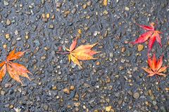 Maple leaves on wet road Stock Photography