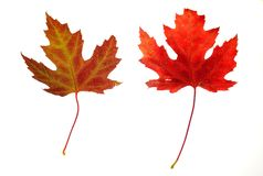 Maple Leaves on White Stock Photos