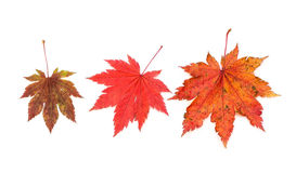 Maple leaves. Royalty Free Stock Photos