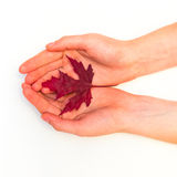 Maple leaves on a white background. A maple leaves on a white background Royalty Free Stock Images