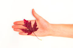 Maple leaves on a white background Stock Photos