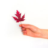 Maple leaves on a white background Stock Images