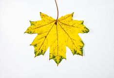 Maple leaves on a white background. Autumn abstraction, wallpaper Stock Image