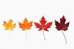 Maple leaves on white Stock Photos