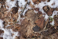 Maple leaves in winter Royalty Free Stock Image