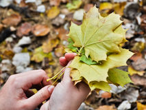 Maple leaves in women hands Royalty Free Stock Image