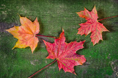 Maple leaves on wood background Royalty Free Stock Images