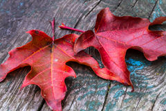 Maple Leaves on Wood. Maple leaves on old wooden surface Stock Photography