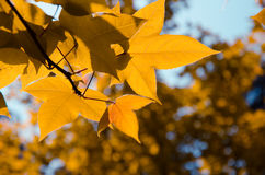 Maple leaves. Yellow maple leaves in autumn park Stock Photo