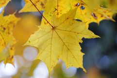 Maple leaves. Yellow backlit fall maple leaves glowing stock photography