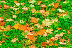 Maple leaves yellow and brown on a green grass park. In autumn stock photography