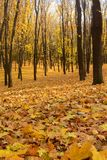 Maple leaves carpet. Golden autumn in the forest. Autumn landscape in the setting sun background. Maple leaves yellow carpet. Golden autumn in the forest. Autumn royalty free stock image