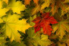Maple leaves yellow and green with big red bright sheet Stock Photography