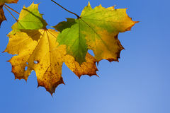 Maple leaves, yellow and green, blue sky Stock Photos