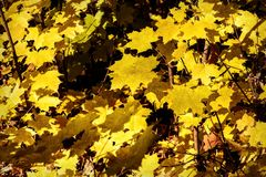 Maple leaves yellow sunlight autumn Stock Images