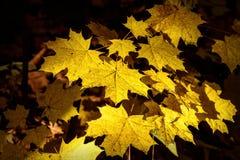 Maple leaves yellow sunlight autumn Stock Photography