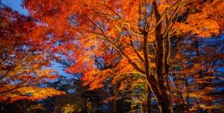 Maple light up at night, Yamanaka lake, Japan Royalty Free Stock Photo