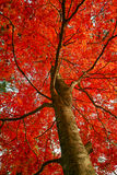 A Maple like Flower in Full Bloom Royalty Free Stock Images