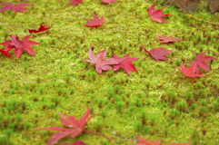 Maple. Many maple leaves on moss Stock Photography
