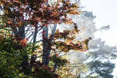 Colourful maple tree in the mist royalty free stock photo