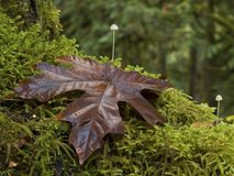 Maple and moss Stock Image
