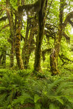 Maple, Moss and Ferns in the Hoh Rainforest Royalty Free Stock Photos