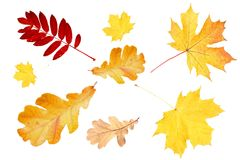 Maple,mountain ash and oak leaves. On a white stock photography