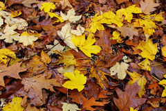 Wet maple, oak and beech leaf litter at fall. Clustered leaves of maple, oak and beech trees - wet on the forest floor at fall. Decomposing process Stock Photography