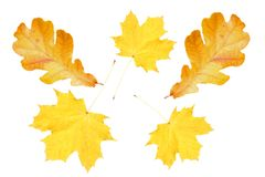 Maple and oak leaves isolate. Maple and oak leaves on a white royalty free stock image