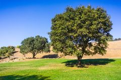 Maple and oak trees. Growing on a green meadow, Palo Alto Foothills Park, San Francisco bay area, California stock images