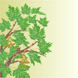 Maple old branch vector Stock Photo