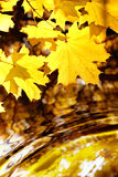 Maple over water Royalty Free Stock Photos