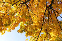 Maple Park in autumn Royalty Free Stock Photography