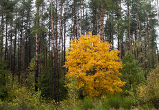 Maple Park in autumn Stock Images