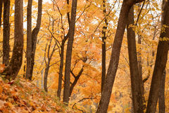 Maple park in october time Royalty Free Stock Photos