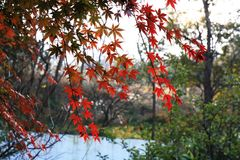 Maple red again. Most of the maples are shrubs or large, small trees, branches Wang Zhan, Shuzi beautiful, but mostly weak positive species, the scenery of the Stock Image