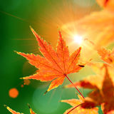 Maple red leaf Stock Photo
