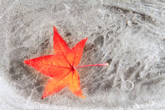 Maple Red Leaf Frozen Into Ice Cold Season Winter Stock Photography
