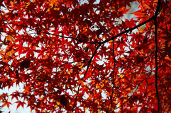 Maple red leafs Royalty Free Stock Photography