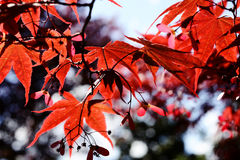 Maple red leaves in autumn Royalty Free Stock Images
