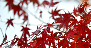 Maple red leaves Stock Image