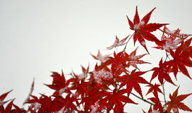 Maple red leaves Royalty Free Stock Images