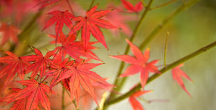 Maple red leaves Stock Images