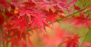Maple red leaves Royalty Free Stock Image