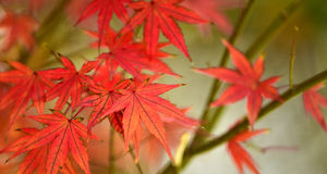 Maple red leaves Royalty Free Stock Photos